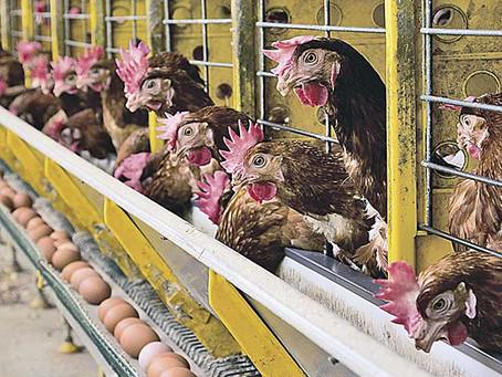Exportações mineiras de ovos dão salto de 112,2%. Leia mais!