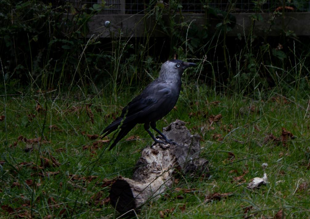 black bird - richmond.jpg