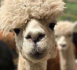 Aug 2 - Alpaca-1.jpg