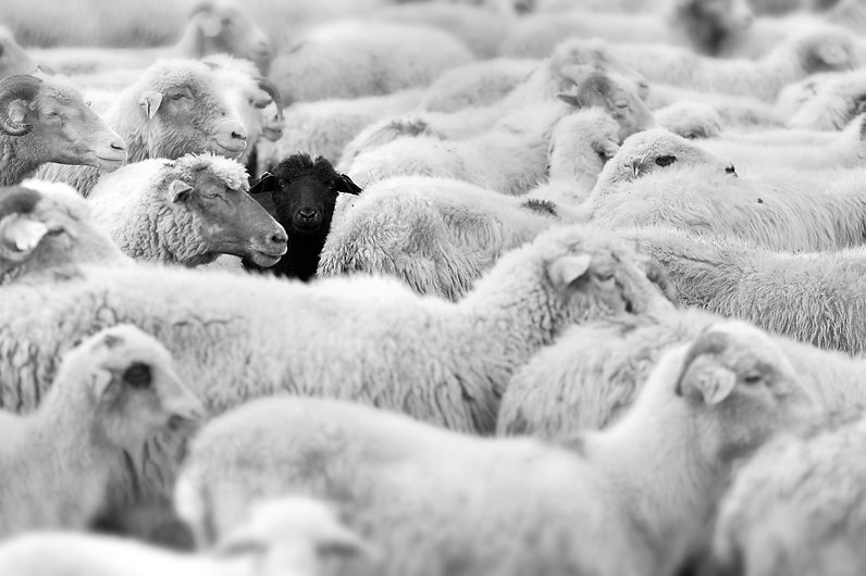 one black sheep in the herd of whites.jp