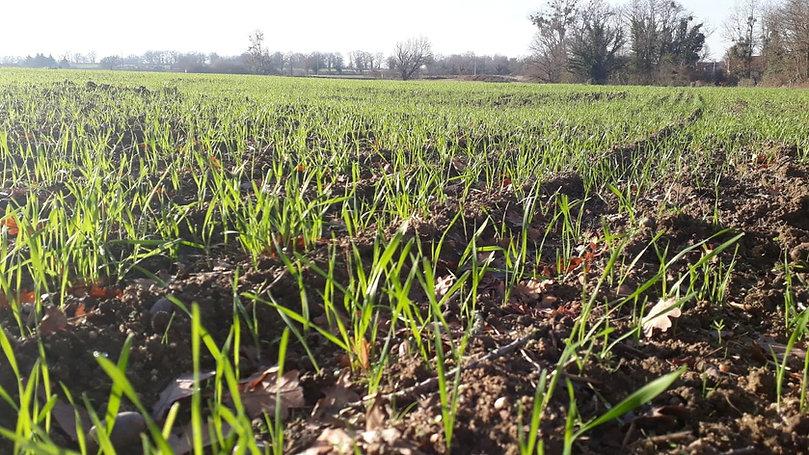 champs blé ancien céréales non mutées