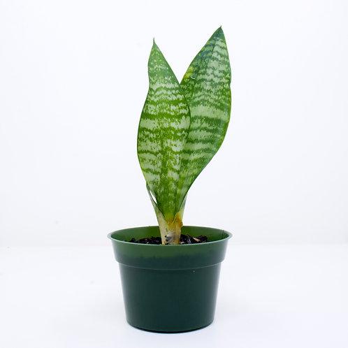 10cm Potted Plant