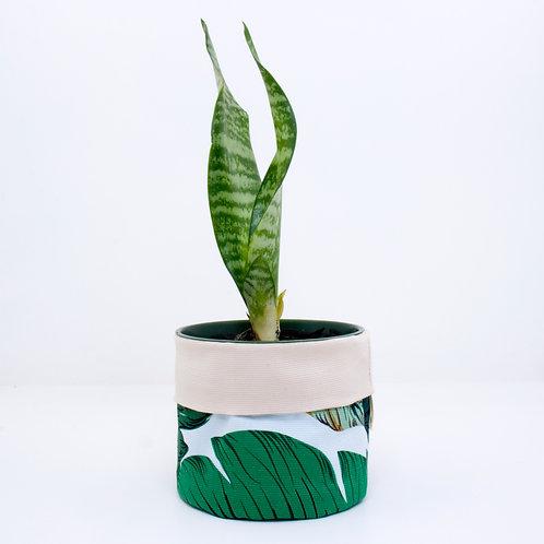 SALE | Banana Palm | 10cm