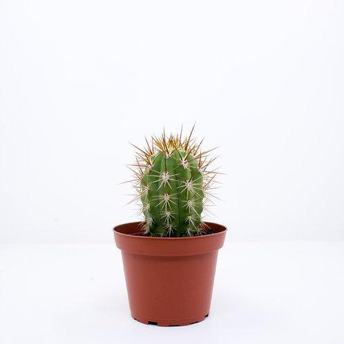 10cm Potted Cactus