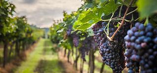 grapes-2.jpg