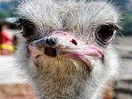 ostrich2.jpeg