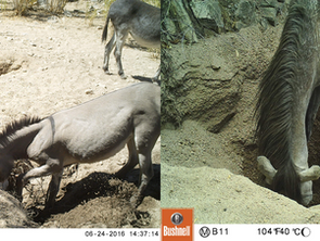 Wild horses and burrows are digging wells and giving water to parched wildlife
