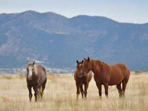 Save our Horses - an open letter to Governor Sandoval