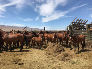 Another rescue - 63 horses saved from slaughter