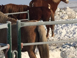 540 ISPMB Horses to go to Auction