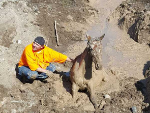 Rescuing a Bogged Wild Horse