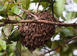 essaim_abeilles-s.jpeg