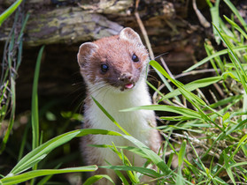 Sneak Peek: Stoat