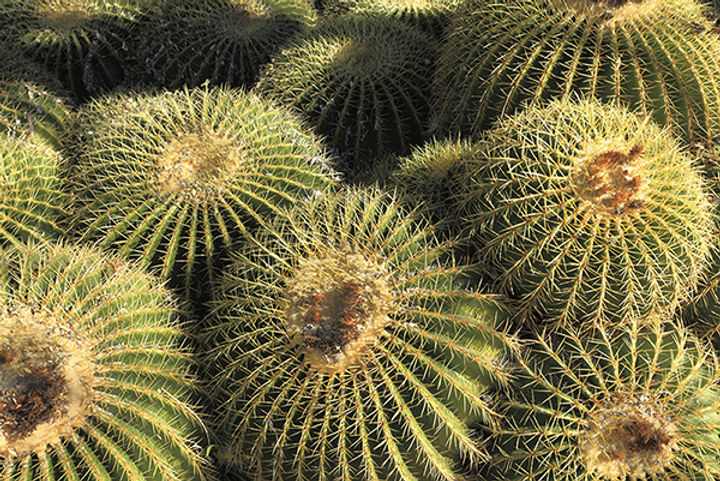 Arizona Golden Barrels