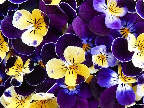Edible Flowers Viola
