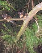 Ringtail-Possum-pair.jpg