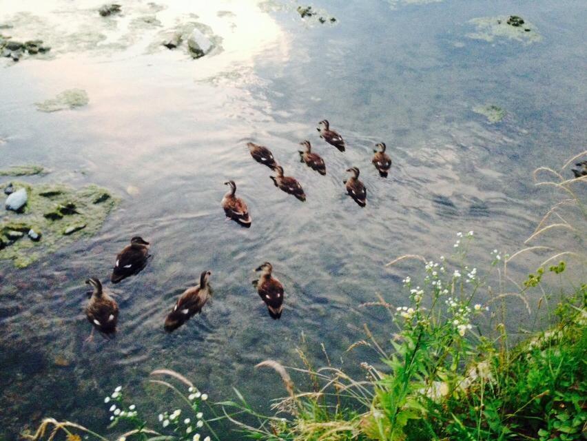 京都鴨川のカモ