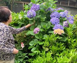 祖母の紫陽花