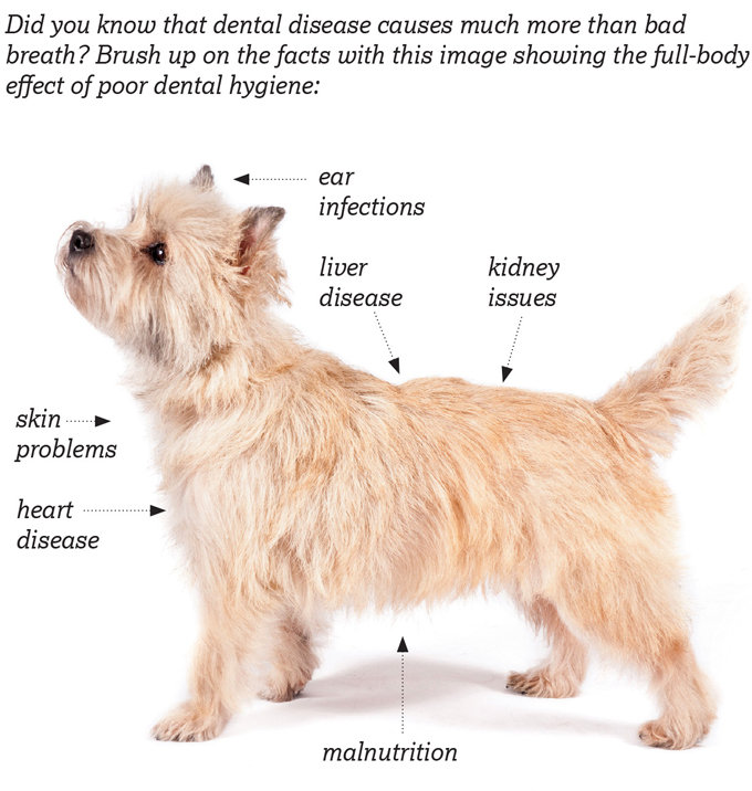 Dental care of Cairn Terriers