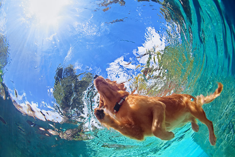pets and your pool, pet friendly pool, pets, swimming, dogs