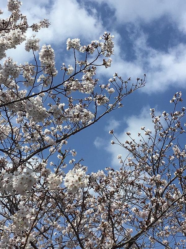 青空、桜.jpg
