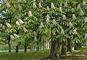 chestnut-5146065_1920.jpg