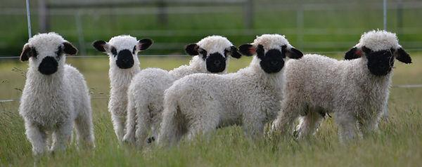 2020 vbn lambs.jpg