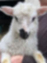 2019 f1 ram lamb eyelashes.jpg