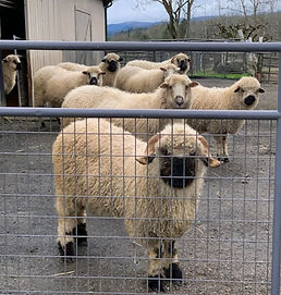 f3 ram and herd Jan 2021.jpg