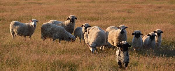 2020 VBN flock 2 mo lambs.jpg