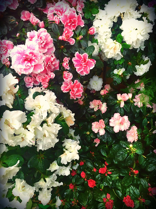 Rhododendron simsii - Azalée