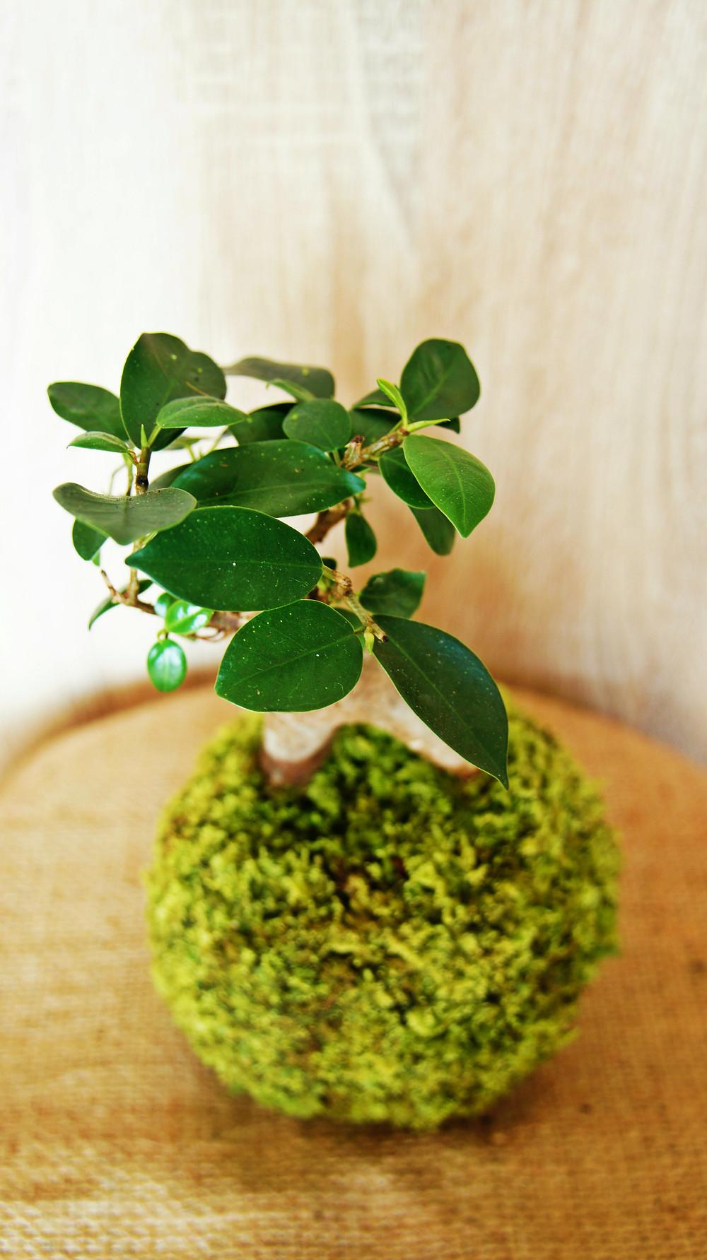 Kokedama - Ficus microcarpa