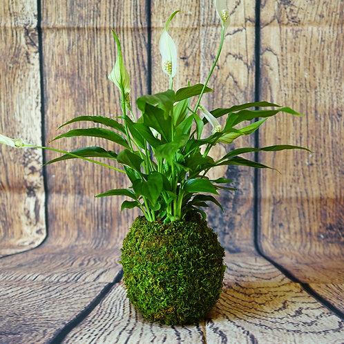 Kokedama - Spathiphyllum