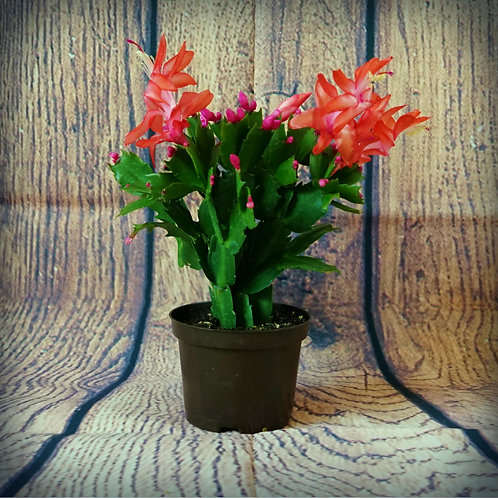 Schlumbergera orssichiana - Cactus de Noël