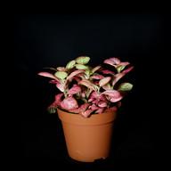 Fittonia rose