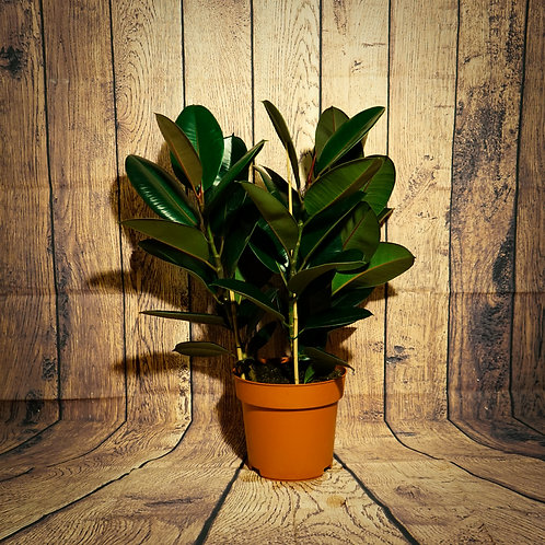 Ficus elastica - Arbre à caoutchouc