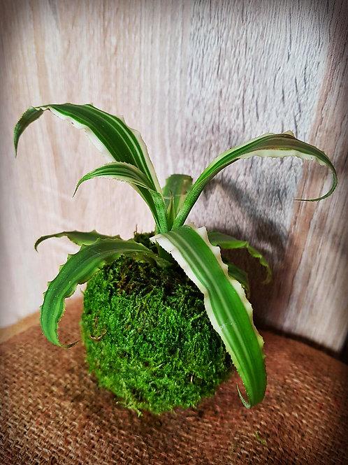 Kokedama - Cryptanthus