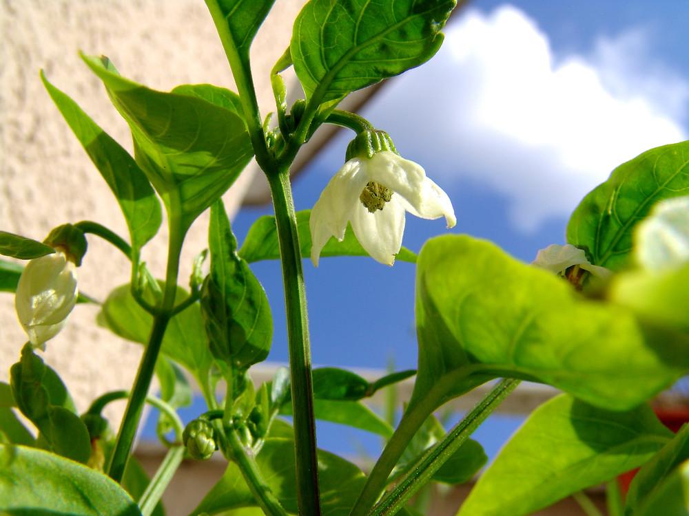 Poivron en fleur
