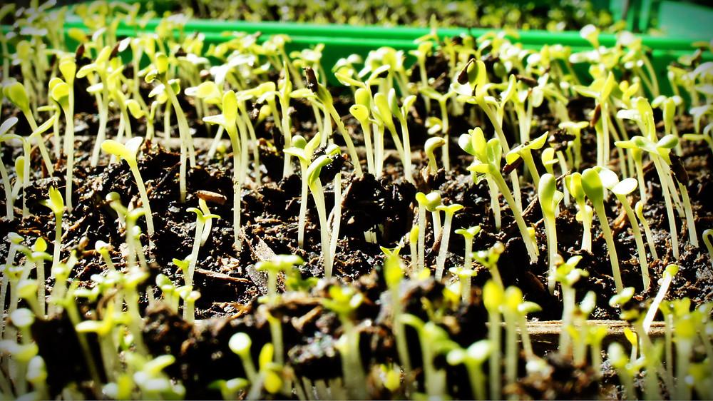 Semis en petite jardinière