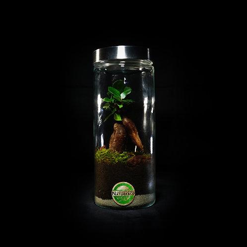 """Terrarium - """"Ficus"""""""