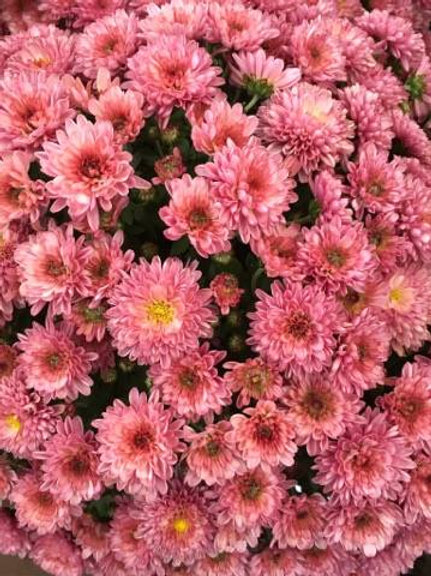 Chrysanthèmes - petit