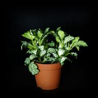 Fittonia vert/blanc