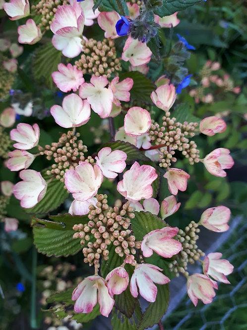 Viburnum 'Pink Beauty'