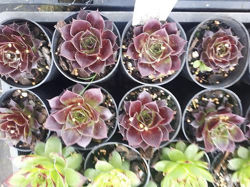 Sempervivum - assorted colours in 50mm pot