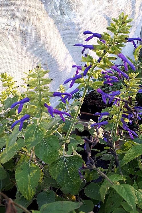 Salvia mexicana 'Limelight'