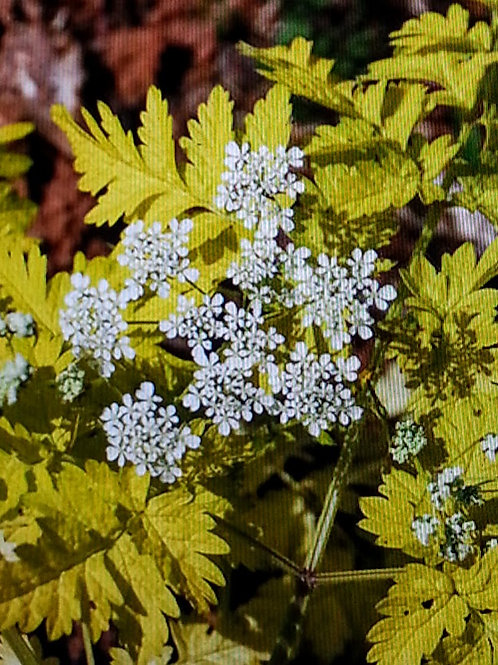 Anthriscus sylvestris 'Golden Fleece'