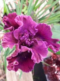 Pacific Coast Iris 'Plum Pretty-BTN'