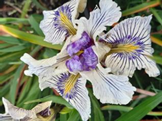 Pacific Coast Iris 'Peacock - BTN'