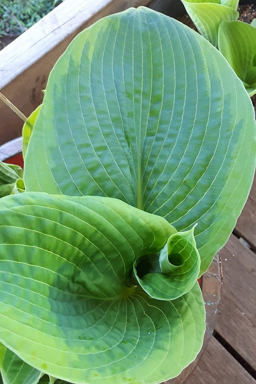 Hosta spp. (Dark green centre/light green rim)