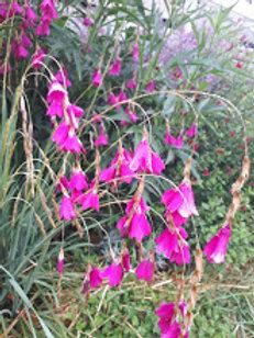 Dierama hot pink